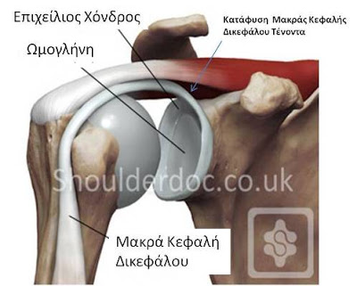 muscle_joint