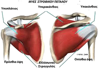shoulder_muscles